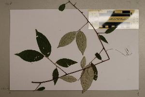 (Elaeagnus triflora - CNS_CC_6076_H4)  @11 [ ] Copyright (2010) Australia Tropical Herbarium CSIRO, Queensland Government and James Cook University
