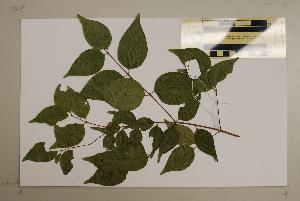 (Gossia - CNS_CC_6076_H5)  @11 [ ] Copyright (2010) Australia Tropical Herbarium CSIRO, Queensland Government and James Cook University