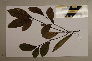(Corynocarpus - CNS_CC_6076_A7)  @11 [ ] Copyright (2010) CSIRO, Queensland Government and James Cook University CSIRO, Queensland Government and James Cook University
