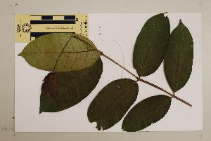 (Backhousia - CNS_CC_6077_C12)  @11 [ ] Copyright (2010) Australia Tropical Herbarium CSIRO, Queensland Government and James Cook University