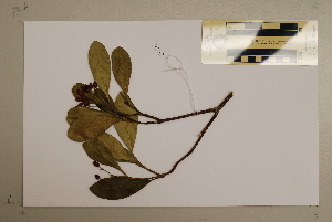(Halfordia - CNS_CC_M_H4)  @11 [ ] Copyright (2010) Australia Tropical Herbarium CSIRO, Queensland Government and James Cook University