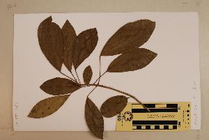 (Baloghia - CNS_CC_6076_D6)  @11 [ ] Copyright (2010) Australia Tropical Herbarium CSIRO, Queensland Government and James Cook University