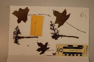 (Brachychiton - CNS_CC_R_C11)  @11 [ ] Copyright (2010) Australia Tropical Herbarium CSIRO, Queensland Government and James Cook University