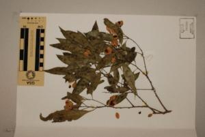 (Siphonodon - CNS_CC_R_F12)  @11 [ ] Copyright (2010) Australia Tropical Herbarium CSIRO, Queensland Government and James Cook University