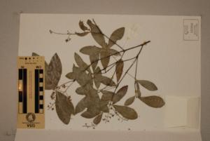 (Denhamia - CNS_CC_R_D12)  @11 [ ] Copyright (2010) Australia Tropical Herbarium CSIRO, Queensland Government and James Cook University