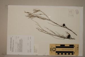 (Callitris - CNS_CC_R_H10)  @11 [ ] Copyright (2010) Australia Tropical Herbarium CSIRO, Queensland Government and James Cook University