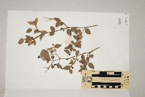 (Carissa ovata - CNS_CC_R_A10)  @11 [ ] Copyright (2010) Australia Tropical Herbarium CSIRO, Queensland Government and James Cook University