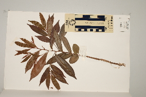 (Chrysophyllum roxburghii - CNS_CC_6079_E11)  @11 [ ] Copyright (2010) Australia Tropical Herbarium CSIRO, Queensland Government and James Cook University