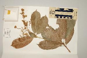 (Rockinghamia - CNS_CC_6075_E11)  @11 [ ] Copyright (2010) Australia Tropical Herbarium CSIRO, Queensland Government and James Cook University
