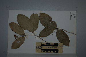 (Bosistoa - CNS_CC_6077_H10)  @11 [ ] Unspecified (default): All Rights Reserved  Australian Tropical Herbarium Unspecified