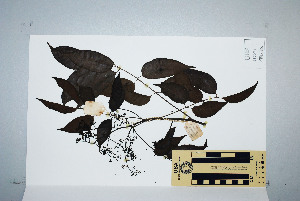(Euroschinus - CNS_CC_6075_A11)  @11 [ ] Unspecified (default): All Rights Reserved  Australian Tropical Herbarium Unspecified