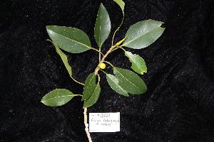(Ficus rubiginosa - CNS_CC_R_D6)  @11 [ ] Copyright (2010) CSIRO, Queensland Government and James Cook University CSIRO, Queensland Government and James Cook University