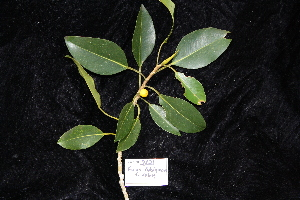 (Ficus rubiginosa - CNS_CC_R_D6)  @11 [ ] Copyright (2010) Australia Tropical Herbarium CSIRO, Queensland Government and James Cook University