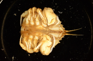(Pseudocorystes - ZSMA20111435)  @14 [ ] Copyright (2011) Roland Meyer Unspecified