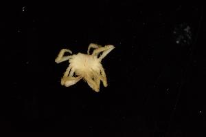 (Hymenosomatidae - ZSMA20111437)  @13 [ ] Copyright (2011) Roland Meyer Unspecified