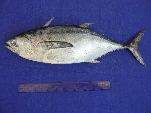 (Thunnus tonggol - SA8JZ005)  @14 [ ] Unspecified (default): All Rights Reserved  Unspecified Unspecified