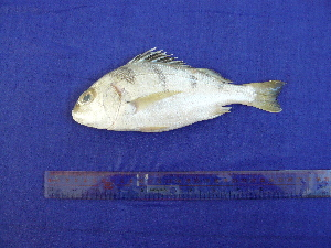 (Pomadasys maculatus - SA8JZ026)  @13 [ ] Unspecified (default): All Rights Reserved  Unspecified Unspecified
