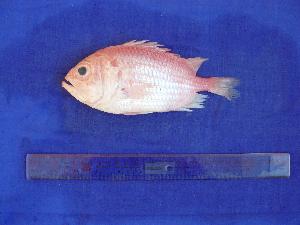 (Ostichthys japonicus - SA8JZ033)  @13 [ ] Unspecified (default): All Rights Reserved  Unspecified Unspecified