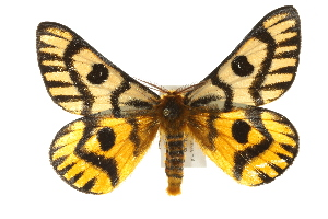(Hemileuca nuttalli - CCGBOLD00191)  @15 [ ] CreativeCommons - Attribution Non-Commercial Share-Alike (2010) BIO Photography Group Biodiversity Institute of Ontario
