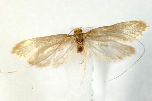 (Nematopogon swammerdamella - UKLB29E06)  @14 [ ] CreativeCommons - Attribution Non-Commercial Share-Alike (2009) BIO Photography Group Biodiversity Institute of Ontario