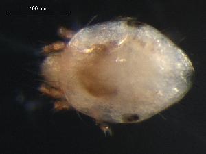 (Haplozetidae - DPMIT-35-22)  @14 [ ] CreativeCommons - Attribution Non-Commercial Share-Alike (2010) BIO Photography Group Biodiversity Institute of Ontario