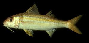 (Mulloidichthys vanicolensis - CIFEFGB MV-01)  @14 [ ] by-nc (1973) Randall, John E. Fishbase