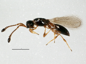 (Diapriinae - BIOUG10000-A02)  @14 [ ] CreativeCommons - Attribution Non-Commercial Share-Alike (2014) BIO Photography Group Biodiversity Institute of Ontario