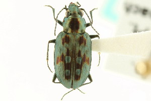 (Bembidion zephyrum - CNC COLEO 00118055)  @11 [ ] CreativeCommons - Attribution Non-Commercial Share-Alike (2011) CNC/BIO Photography Group Biodiversity Institute of Ontario