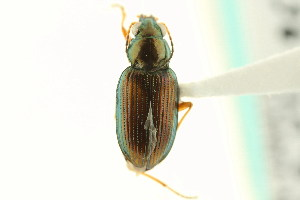 (Bembidion confusum - CNC COLEO 00118069)  @11 [ ] CreativeCommons - Attribution Non-Commercial Share-Alike (2011) CNC/BIO Photography Group Centre for Biodiversity Genomics