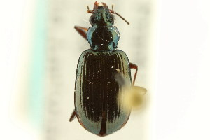 (Bembidion louisella - CNC COLEO 00118072)  @11 [ ] CreativeCommons - Attribution Non-Commercial Share-Alike (2011) CNC/BIO Photography Group Centre for Biodiversity Genomics