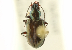 (Bembidion rothfelsi - CNC COLEO 00118075)  @11 [ ] CreativeCommons - Attribution Non-Commercial Share-Alike (2011) CNC/BIO Photography Group Centre for Biodiversity Genomics