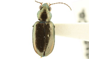 (Bembidion americanum - CNC COLEO 00118082)  @13 [ ] CreativeCommons - Attribution Non-Commercial Share-Alike (2011) CNC/BIO Photography Group Biodiversity Institute of Ontario