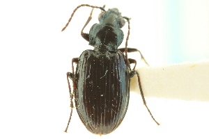 (Bembidion haruspex - CNC COLEO 00118120)  @14 [ ] CreativeCommons - Attribution Non-Commercial Share-Alike (2011) CNC/BIO Photography Group Centre for Biodiversity Genomics