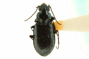 (Bembidion farrarae - CNC COLEO 00118127)  @11 [ ] CreativeCommons - Attribution Non-Commercial Share-Alike (2011) CNC/BIO Photography Group Biodiversity Institute of Ontario