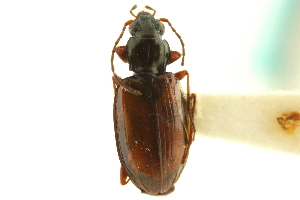 (Bembidion gratiosum - CNC COLEO 00118142)  @14 [ ] CreativeCommons - Attribution Non-Commercial Share-Alike (2011) CNC/BIO Photography Group Centre for Biodiversity Genomics