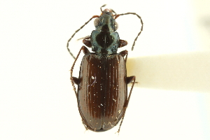(Bembidion sulcipenne prasinoides - CNC COLEO 00118152)  @13 [ ] by-nc-sa - Creative Commons - Attribution Non-Comm Share-Alike (2011) CNC/BIO Photography Group Biodiversity Institute of Ontario
