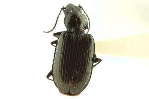 (Bembidion hyperboreorum - CNC COLEO 00118154)  @11 [ ] CreativeCommons - Attribution Non-Commercial Share-Alike (2011) CNC/BIO Photography Group Biodiversity Institute of Ontario