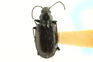 (Bembidion hyperboreorum - CNC COLEO 00118155)  @11 [ ] CreativeCommons - Attribution Non-Commercial Share-Alike (2011) CNC/BIO Photography Group Biodiversity Institute of Ontario