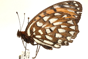 (Speyeria idalia - CCDB-24279-F07)  @13 [ ] CreativeCommons - Attribution Non-Commercial Share-Alike (2015) CBG Photography Group Centre for Biodiversity Genomics