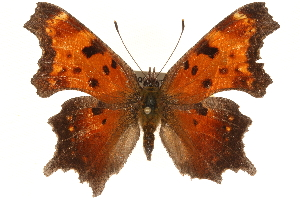 (Polygonia progne - CCDB-24279-H10)  @15 [ ] CreativeCommons - Attribution Non-Commercial Share-Alike (2015) CBG Photography Group Centre for Biodiversity Genomics