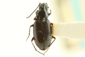 (Bembidion recticolle - CNC COLEO 00118183)  @11 [ ] CreativeCommons - Attribution Non-Commercial Share-Alike (2011) CNC/BIO Photography Group Centre for Biodiversity Genomics