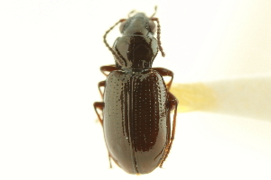 (Bembidion quadratulum - CNC COLEO 00118187)  @14 [ ] CreativeCommons - Attribution Non-Commercial Share-Alike (2011) CNC/BIO Photography Group Centre for Biodiversity Genomics