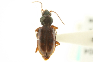 (Bembidion graciliforme - CNC COLEO 00118251)  @11 [ ] CreativeCommons - Attribution Non-Commercial Share-Alike (2011) CNC/BIO Photography Group Centre for Biodiversity Genomics