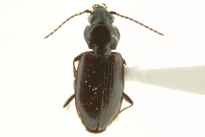 (Bembidion scudderi - CNC COLEO 00118255)  @11 [ ] CreativeCommons - Attribution Non-Commercial Share-Alike (2011) CNC/BIO Photography Group Biodiversity Institute of Ontario