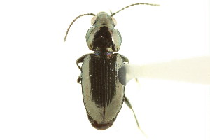 (Bembidion obtusangulum - CNC COLEO 00118266)  @13 [ ] by-nc-sa - Creative Commons - Attribution Non-Comm Share-Alike (2011) CNC/BIO Photography Group Biodiversity Institute of Ontario