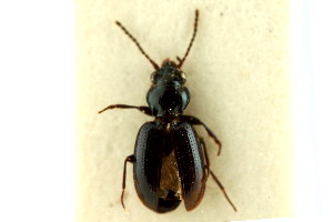 (Bembidion diligens - CNC COLEO 00118313)  @11 [ ] CreativeCommons - Attribution Non-Commercial Share-Alike (2011) CNC/BIO Photography Group Centre for Biodiversity Genomics