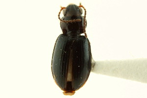 (Bembidion roosevelti - CNC COLEO 00118322)  @11 [ ] CreativeCommons - Attribution Non-Commercial Share-Alike (2011) CNC/BIO Photography Group Centre for Biodiversity Genomics