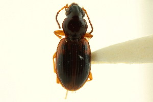 (Bembidion semicinctum - CNC COLEO 00118333)  @11 [ ] CreativeCommons - Attribution Non-Commercial Share-Alike (2011) CNC/BIO Photography Group Centre for Biodiversity Genomics