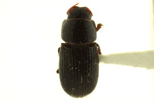 (Ataenius cognatus - CNC COLEO 00123529)  @11 [ ] CreativeCommons - Attribution Non-Commercial Share-Alike (2011) CNC/BIO Photography Group Biodiversity Institute of Ontario