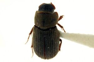 (Ataenius imbricatus - CNC COLEO 00123554)  @11 [ ] CreativeCommons - Attribution Non-Commercial Share-Alike (2011) CNC/BIO Photography Group Biodiversity Institute of Ontario